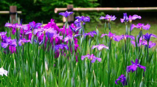 japan iris gyerek nap kodomo no hi