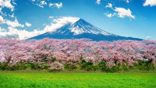 sakura fuji, flower