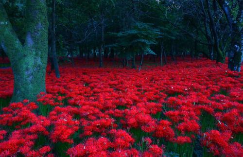 higanbana ohigan buddhista ünnep