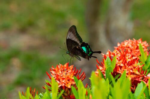 japan szimbolum pillango érdekesseg