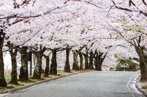sakura, hanami, japán cseresznye virágzás