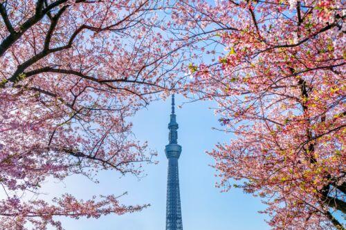 sky tree sumida park japan tokio hanami sakura