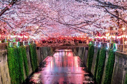 megura tokio japan sakura hanami matsuri