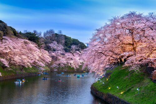 japan tokio hanami sakura folyo