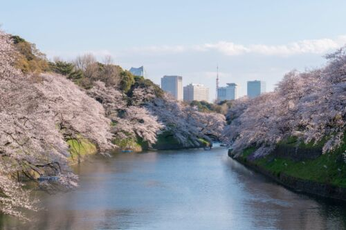 chidorigafuchi japan tokio sakura hanami