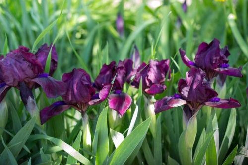 iris ayame japán tsuyu esős évszak