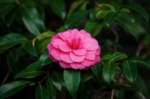 kamélia japan szépség ápolás