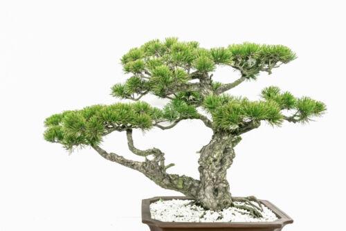 bonsai japán fa művészet