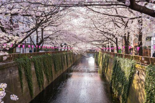 meguro hanami sakura tokio japan folyo