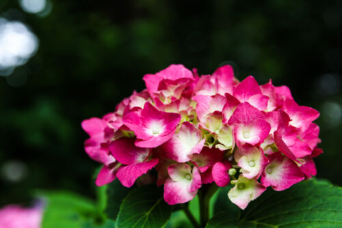hortenzia japán virágok június