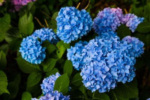 hortenza japán virágok szimbolikus jelentés június