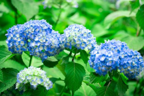 hortenzia japan virágok