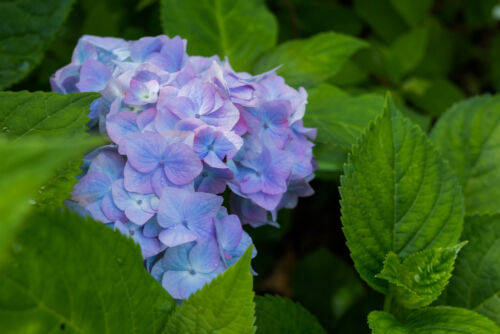 hortenzia japán virágok szimbolikus jelentés
