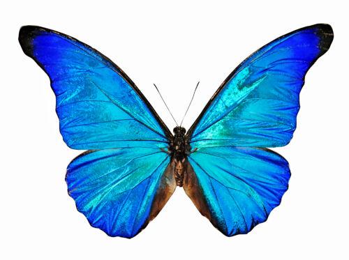 chocho japan pillango szimbolum