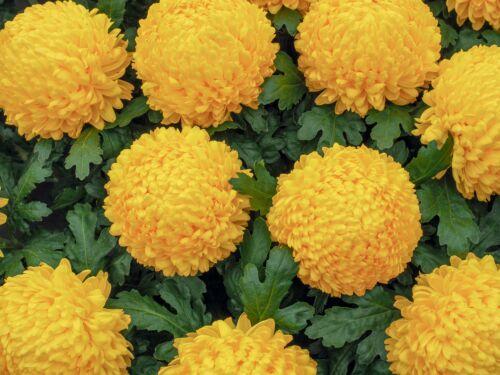 chrysantheneum, japan, krizantem, virág