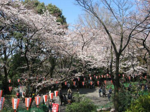 ueno park tokio hanam sakura japan
