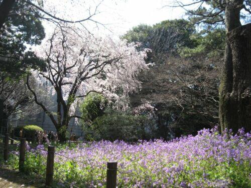 hanami japan tokio ueno park sakura